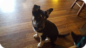 German Shepherd Dog Mix Puppy for adoption in waterbury, Connecticut - Gwen