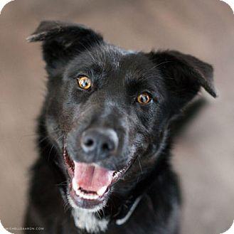 Labrador Retriever/Shepherd (Unknown Type) Mix Dog for adoption in Edmonton, Alberta - Lucy Byul