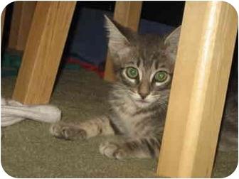 Domestic Shorthair Kitten for adoption in San Diego, California - Milo