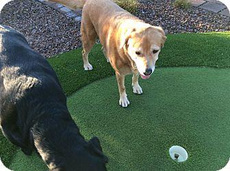 Golden Retriever/Labrador Retriever Mix Dog for adoption in Mesa, Arizona - Peanut