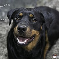 Rottweiler Dog for adoption in Acton, California - Ember