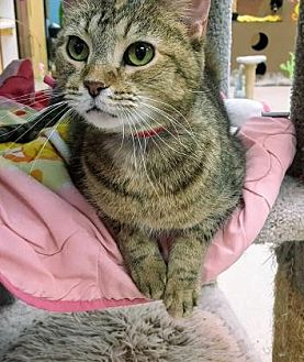 Domestic Shorthair/Domestic Shorthair Mix Cat for adoption in Evansville, Indiana - Cindy Lou