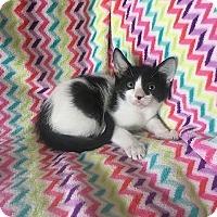 Domestic Shorthair Kitten for adoption in Tampa, Florida - Owen