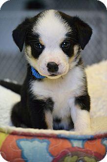 Australian Shepherd/Border Collie Mix Puppy for adoption in Hagerstown, Maryland - Mr. Gold