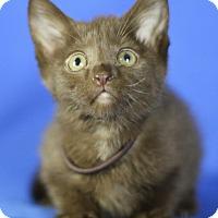 Adopt A Pet :: Sable - Winston-Salem, NC