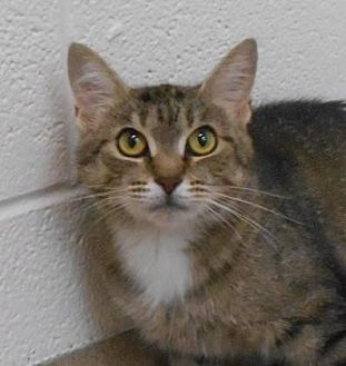 Domestic Shorthair/Domestic Shorthair Mix Cat for adoption in Wooster, Ohio - Helen