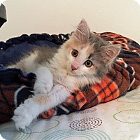 Adopt A Pet :: Tesla - Troy, MI