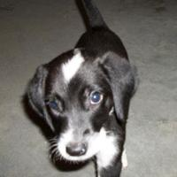 Adopt A Pet :: Kory - Clinton, MO