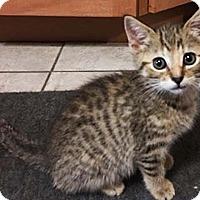 Adopt A Pet :: Puggles - N. Billerica, MA