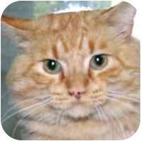 Domestic Longhair Cat for adoption in Coleraine, Minnesota - Brody