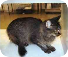 Domestic Mediumhair Cat for adoption in Walker, Michigan - Odessa