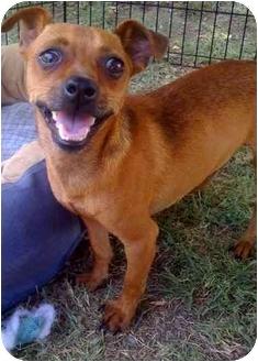 Chihuahua/Dachshund Mix Dog for adoption in Fowler, California - CINNAMON