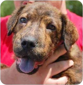 Shar Pei Mix Puppy for adoption in Inman, South Carolina - Jagermeister