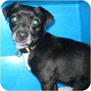 Chihuahua Mix Dog for adoption in San Clemente, California - GOLIATH