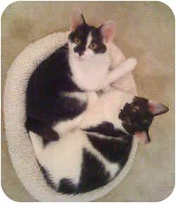 Domestic Shorthair Kitten for adoption in Chicago, Illinois - Pecan & Sweet Potato