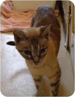 Domestic Shorthair Cat for adoption in Chicago, Illinois - Tilly
