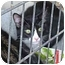 Photo 1 - Domestic Shorthair Cat for adoption in Fairfield, Texas - Boots