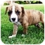 Photo 1 - Boxer Mix Puppy for adoption in Seneca, South Carolina - CHASE