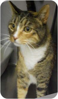 Domestic Shorthair Cat for adoption in Hayden, Idaho - Dora