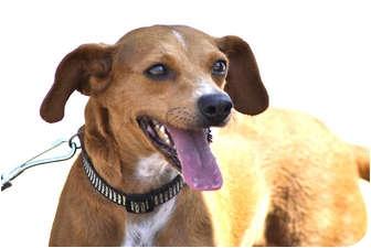 Pharaoh Hound Mix Dog for adoption in Irvine, California - CHILI