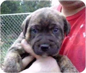 Mastiff Mix Puppy for adoption in Lonedell, Missouri - Roamer-3