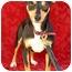 Photo 2 - Miniature Pinscher Mix Dog for adoption in Irvine, California - DOMI
