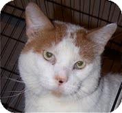Domestic Shorthair Cat for adoption in Chicago, Illinois - Charleston