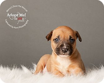 American Pit Bull Terrier/Bull Terrier Mix Puppy for adoption in Medina, Ohio - Roscoe