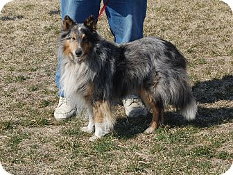 Sheltie, Shetland Sheepdog Dog for adoption in North Judson, Indiana - Spencer