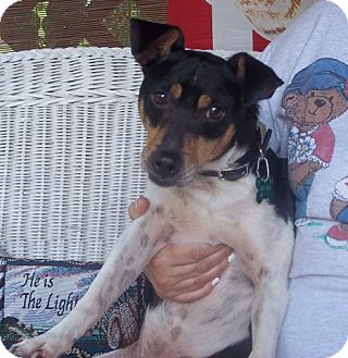 Rat Terrier Mix Dog for adoption in Radford, Virginia - Ernie