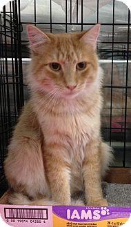 Turkish Angora Cat for adoption in Pittstown, New Jersey - Jax