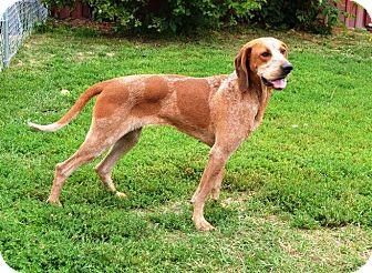 Redtick Coonhound Dog for adoption in Indianola, Iowa - Jill
