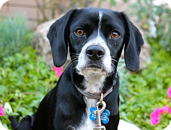 Beagle Mix Dog for adoption in Los Angeles, California - Zeppelin