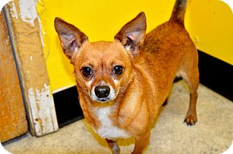 Chihuahua Mix Dog for adoption in Fort Smith, Arkansas - Booda