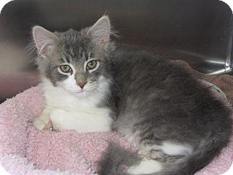 Domestic Mediumhair Kitten for adoption in Ridgway, Colorado - Samuel