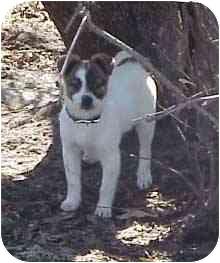 Jack Russell Terrier/Rat Terrier Mix Puppy for adoption in Waupaca, Wisconsin - Ella