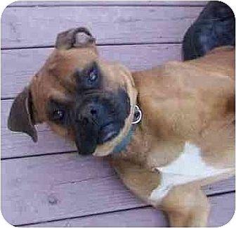 Boxer Mix Dog for adoption in Old Fort, North Carolina - Zephyer