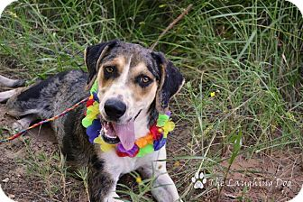 Catahoula Leopard Dog Mix Dog for adoption in Perkins, Oklahoma - Talula