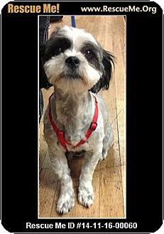 Shih Tzu Mix Puppy for adoption in Phoenix, Arizona - Wilma