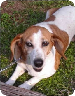 Beagle/Dachshund Mix Dog for adoption in Nashville, Tennessee - Daisy- Adopted