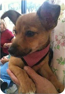 Pomeranian/Jack Russell Terrier Mix Puppy for adoption in Flushing, New York - Emily