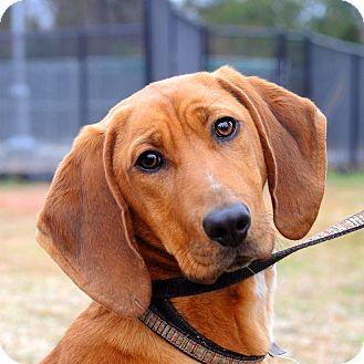 Redbone Coonhound Mix Dog for adoption in Aiken, South Carolina - Little Ann