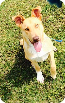 Collie/Golden Retriever Mix Dog for adoption in Chicago, Illinois - Harry