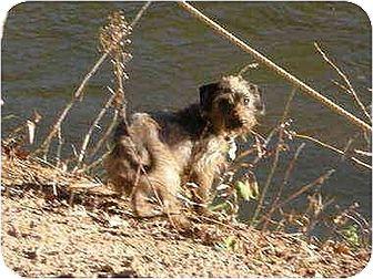 Dachshund/Cairn Terrier Mix Dog for adoption in Portland, Maine - Heidegger