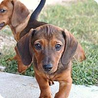 Adopt A Pet :: *Quinn - PENDING - Westport, CT