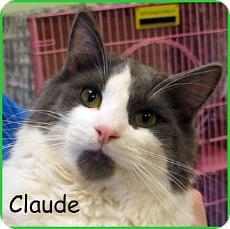 Domestic Mediumhair Cat for adoption in Warren, Pennsylvania - Claude