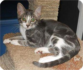 Domestic Shorthair Kitten for adoption in San Antonio, Texas - Goober