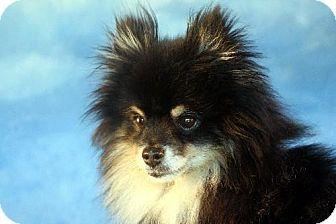 Pomeranian Dog for adoption in Dallas, Texas - Bear