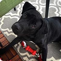 Adopt A Pet :: Nova-being fostered2adopt - Fredericksburg, VA