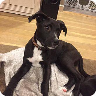 Hound (Unknown Type)/Pit Bull Terrier Mix Puppy for adoption in Valley Stream, New York - Grumpy
